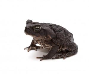 Cane Toad (Rhinella marinus)
