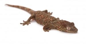 Mossy Gecko (Mniarogekko chahoua)