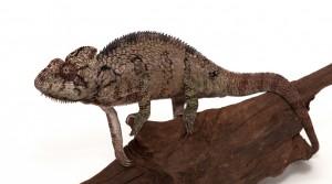 Madagascan Spiny Chameleon (Furcifer verrucosus)