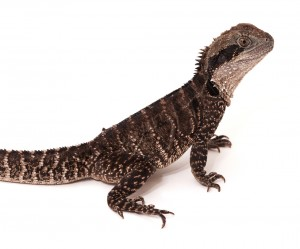 Australian Water Dragon (Physignathus leseuri)